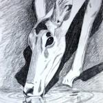 Antelope drawing